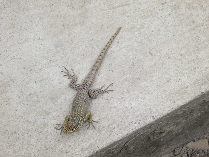 lizard at Machu Picchu entrance