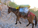 mule heading out of Cotahuasi canyon