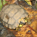 yellow-footed tortoise