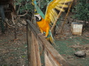 Blue the macaw