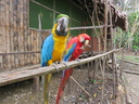 macaws eating peanuts